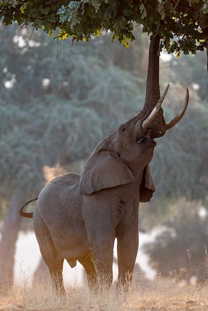 Elephant, Nikon D500, AF-S VR Nikkor 400mm f/2.8G ED