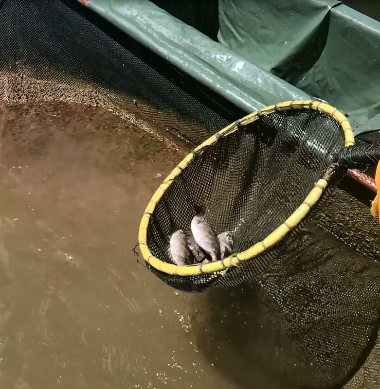tuaran_rabbitfish_harvesting