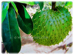 Fruit and lovely olong to elliptical leaves of Annona muricata (Soursop, Prickly Custard Apple, Durian Belanda in Malay), 22 Oct 2017