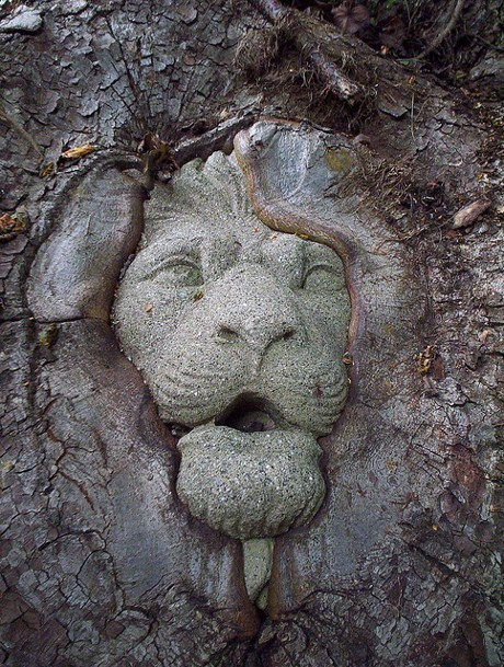 Lion head embedded in a pecan tree