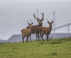 Deers of Margam Park