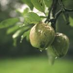 2017-10-07_12-37-12 - Äpfel im Garten - Regen - Tarbek