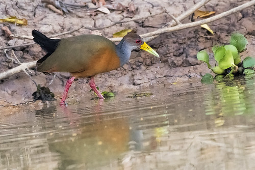 Pantanal: Gray-cowled Wood Rail