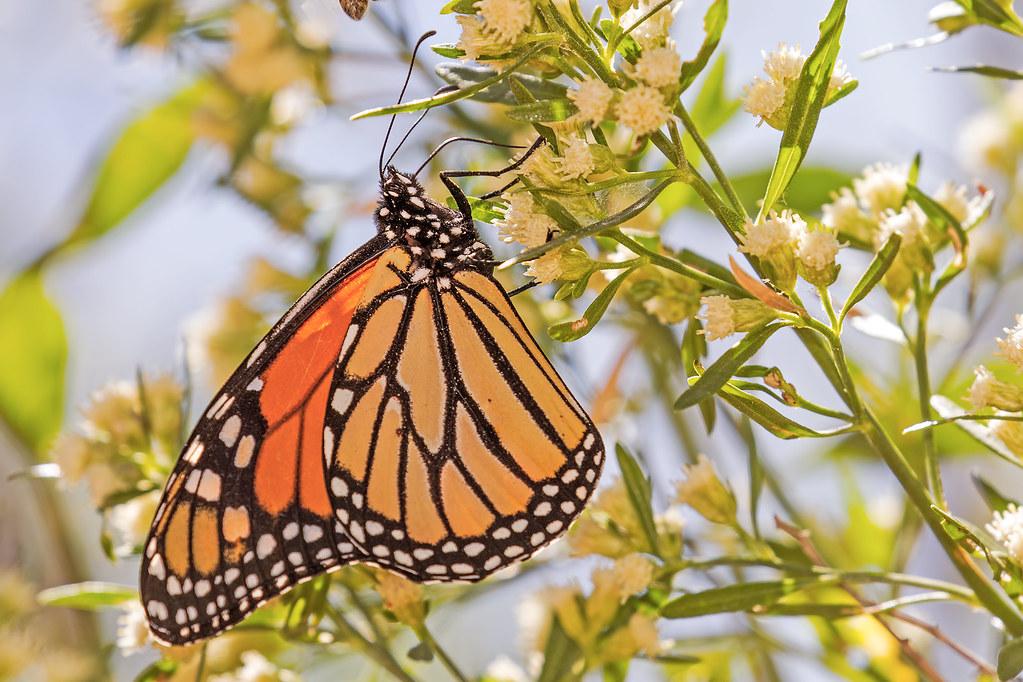Butterfly-9-7D2-100717