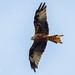 Red Kite 500_2034.jpg