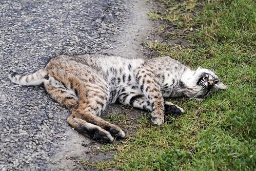 Dead bobcat - 9730