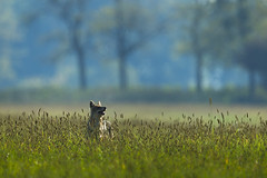 Golden jackal (Canis aureus) on hunt
