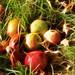 Windfall Apples, Autumn