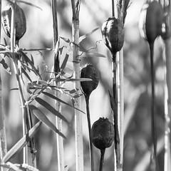 Seed capsuels