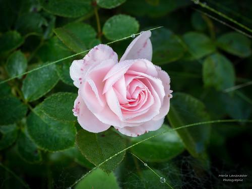 Rose mit Tautröpfchen