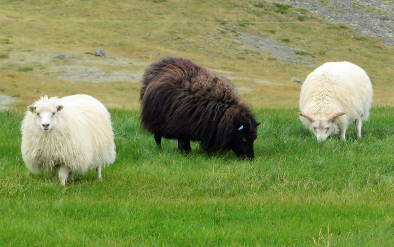 iceland-white-black-sheep