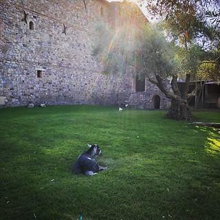 Sunbathing 🐐 goat... #goat #castle #california #napa #castellodiamorosa