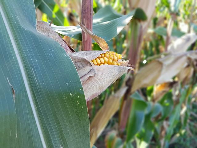 close-up view of a corncop / Nahansicht eines Maiskolbens