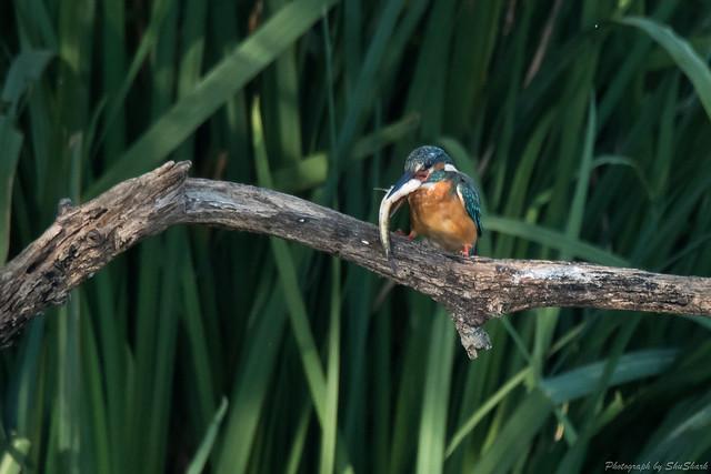 20171001-Kingfisher-DSC_3954