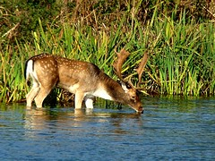 Rutting is thirsty work 15.10