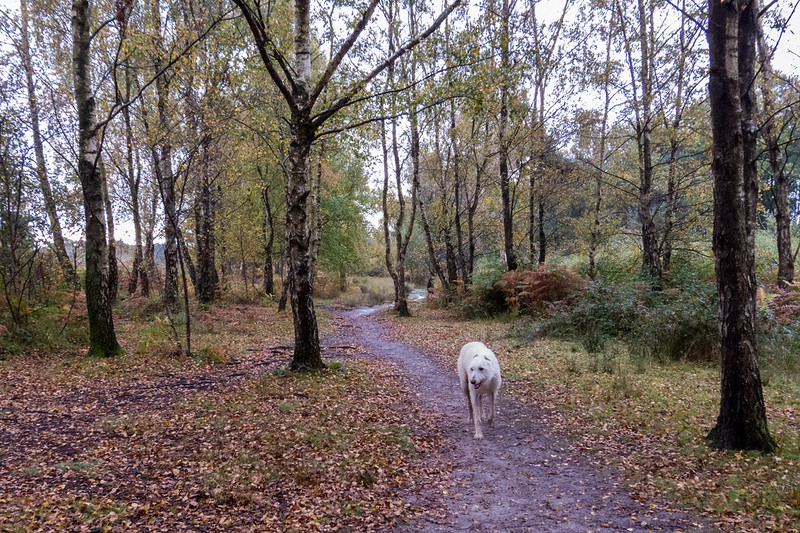 Teddy in the silver birch grove