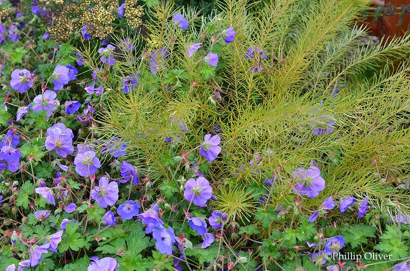 amsonia-geranium-rozanne