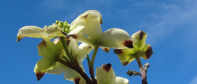 Dogwood flowers, almost open, against sky