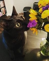 Someone likes my flowers. #scullytheblackcat