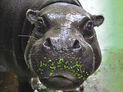 FLICKR-nijlpaard