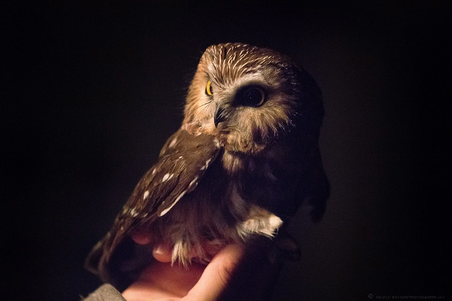 Northern Saw Whet Owl-1649