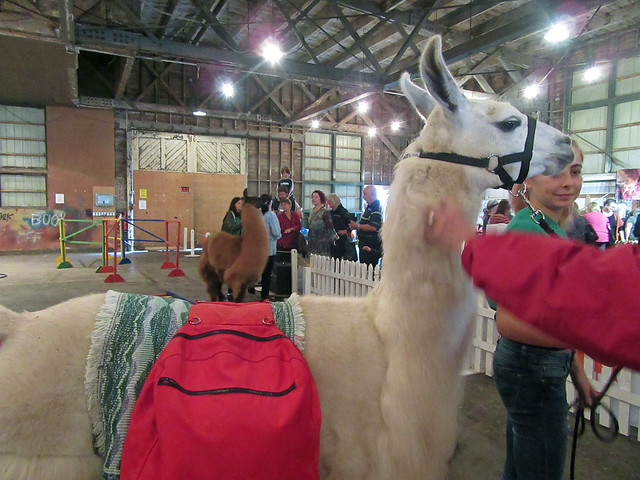 Norfolk 4H llama demonstration Woodstock Fleece Festival 2017