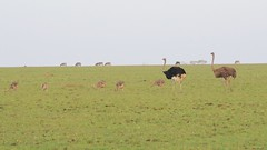 Two ostriches and their little families...