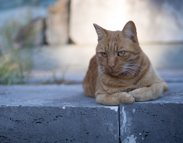 Cemetery Cat, Rome (explore), Olympus E-P5, Lumix G 42.5mm F1.7 Asph. Power OIS
