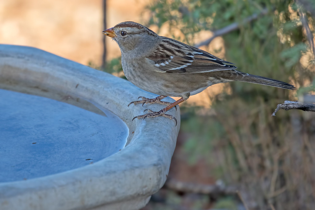 White-crowned-Sparrow-8-7D2-102517