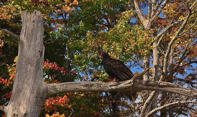 Chickahominy River with Turkey Vulture10-7-17 (5)
