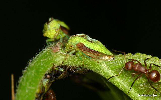 Treehopper family, Metheisa sp. with tending ants