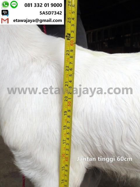 jantan-60cm-13-20171001