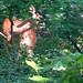 20170602 0938 - deer in our yard - 093831