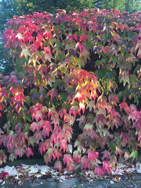 tuesday, virginia creeper in autumn colors, helsingborg