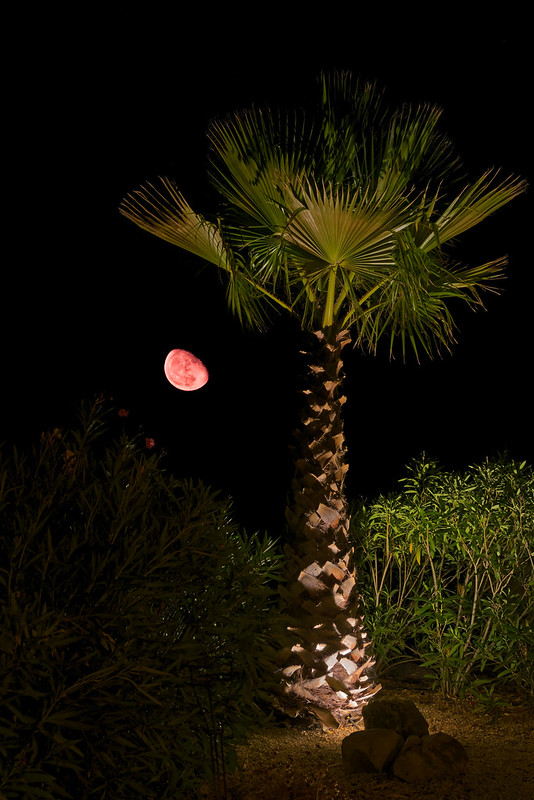 Moon Rise & Palm Tree
