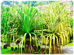 Pandanus Baptistii Variegated (Gold-striped Screw Pine, Variegated Screw Pine, Compact Golden Screw Pine) grows to about 2 m tall and has many thick stilt roots near the base, 1 Aug 2009
