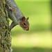 Simon the Grey Squirrel hanging around.