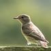Spotted Flycatcher 500_2335.jpg