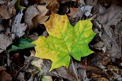 Leaves at Chapin Forest