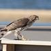 Cooper's Hawk at Sandy Hook