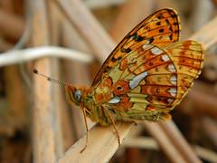 HolderPearl-bordered Fritillary at rest in bracken