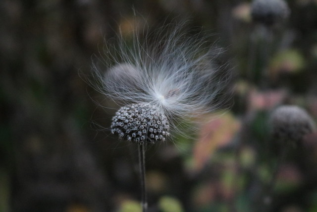 one seed barely visible through all the fluff, perched on the right side of a seedhead