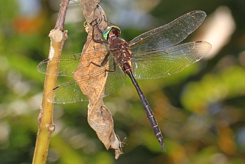 Fine-lined Emerald - Somatochlora filosa, Occoquan Bay National Wildlife Refuge, Woodbridge, Virginia