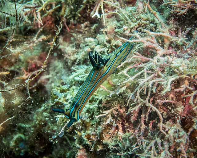 Blue-striped sea slug (Tambja eliora)