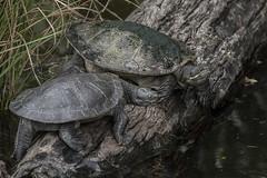 Australian Short-necked Turtles