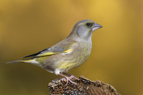 Verdone - Greenfinch