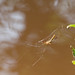 Spider over Muddy Water