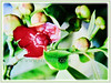 Garcinia atroviridis (Malabar Tamarind, Asam Gelugur/Keping in Malay)