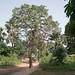 arbre géant