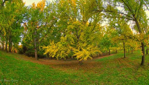 virginia virginiaarboretum arboretum autumn fall ginkgo landscape leaves sunrise trees whitepost unitedstates us